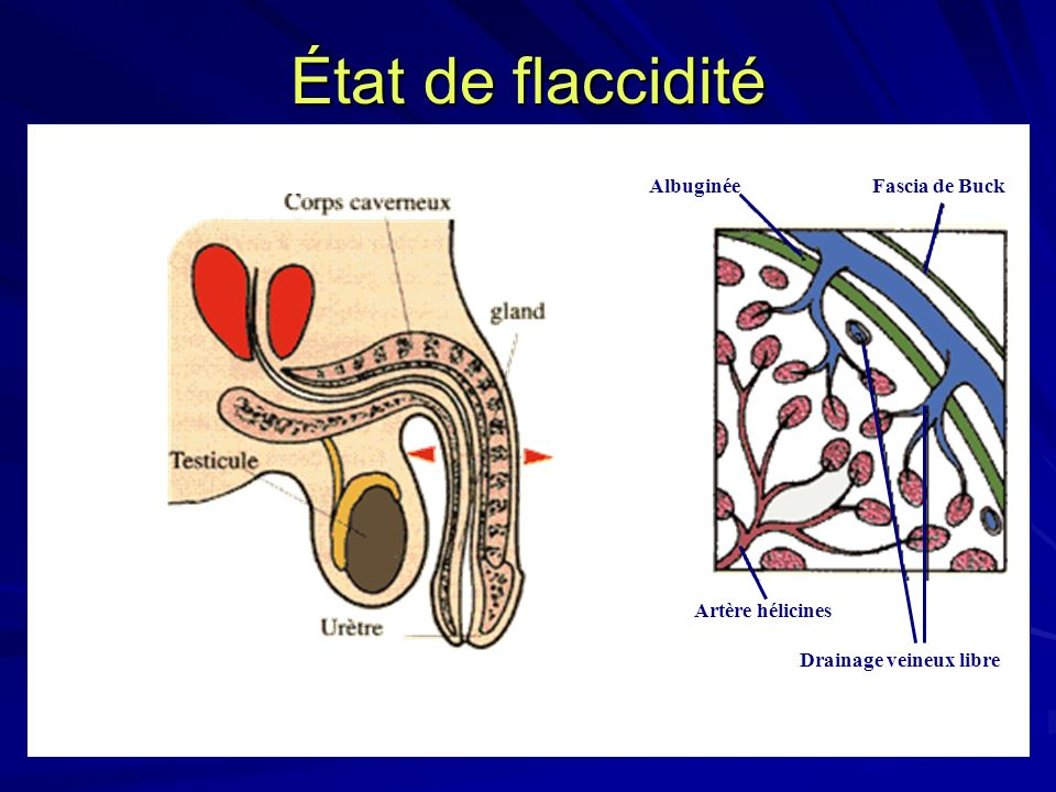 État de flaccidité Albuginée Fascia de Buck Artère hélicines