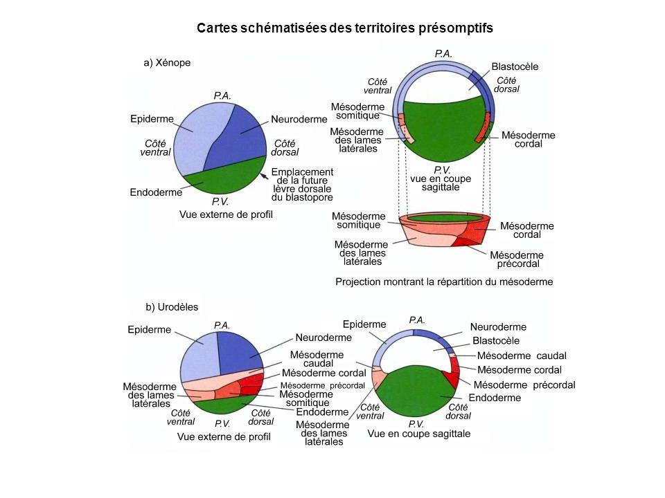 Cartes schématisées des territoires présomptifs