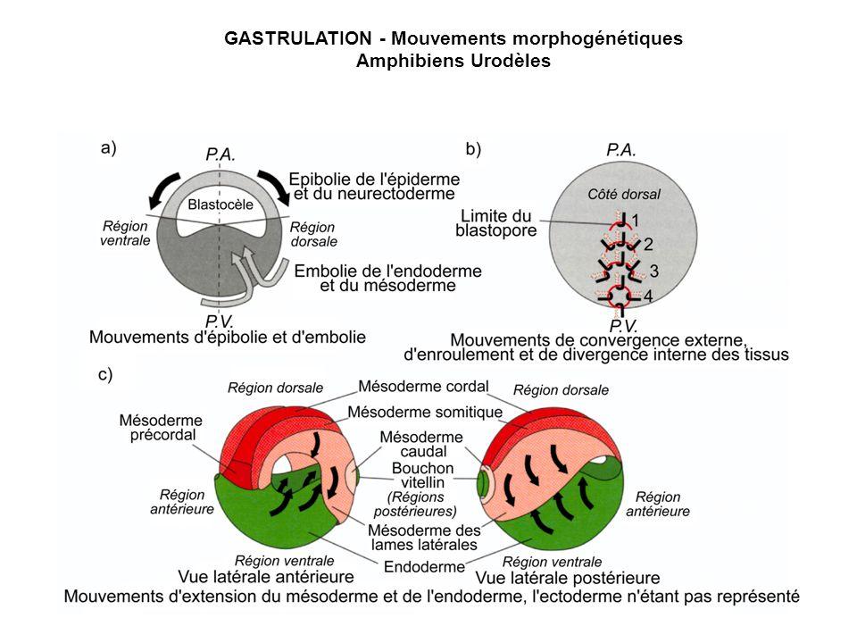 GASTRULATION - Mouvements morphogénétiques