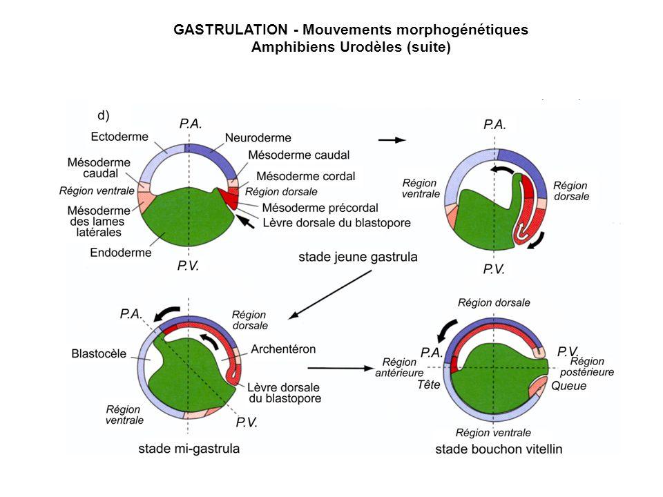 GASTRULATION - Mouvements morphogénétiques Amphibiens Urodèles (suite)