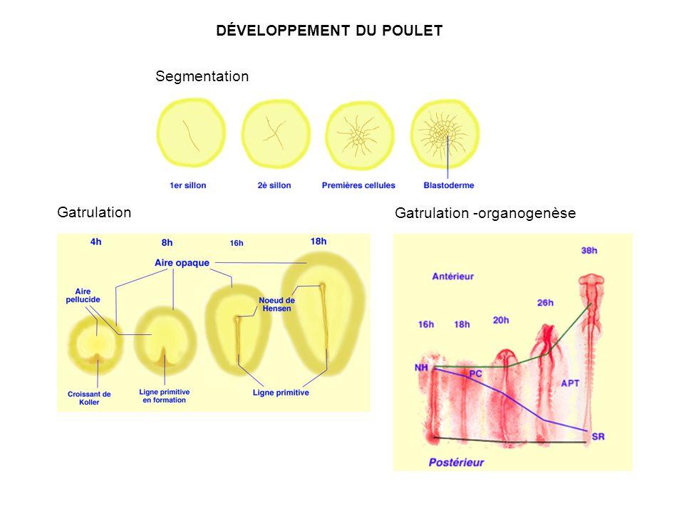 Gatrulation -organogenèse