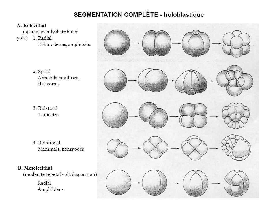 SEGMENTATION COMPLÈTE - holoblastique