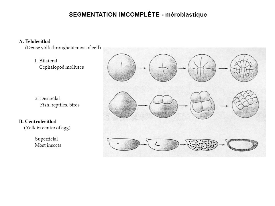 SEGMENTATION IMCOMPLÈTE - méroblastique