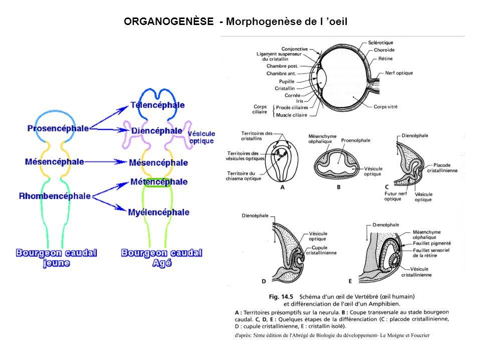 ORGANOGENÈSE - Morphogenèse de l 'oeil