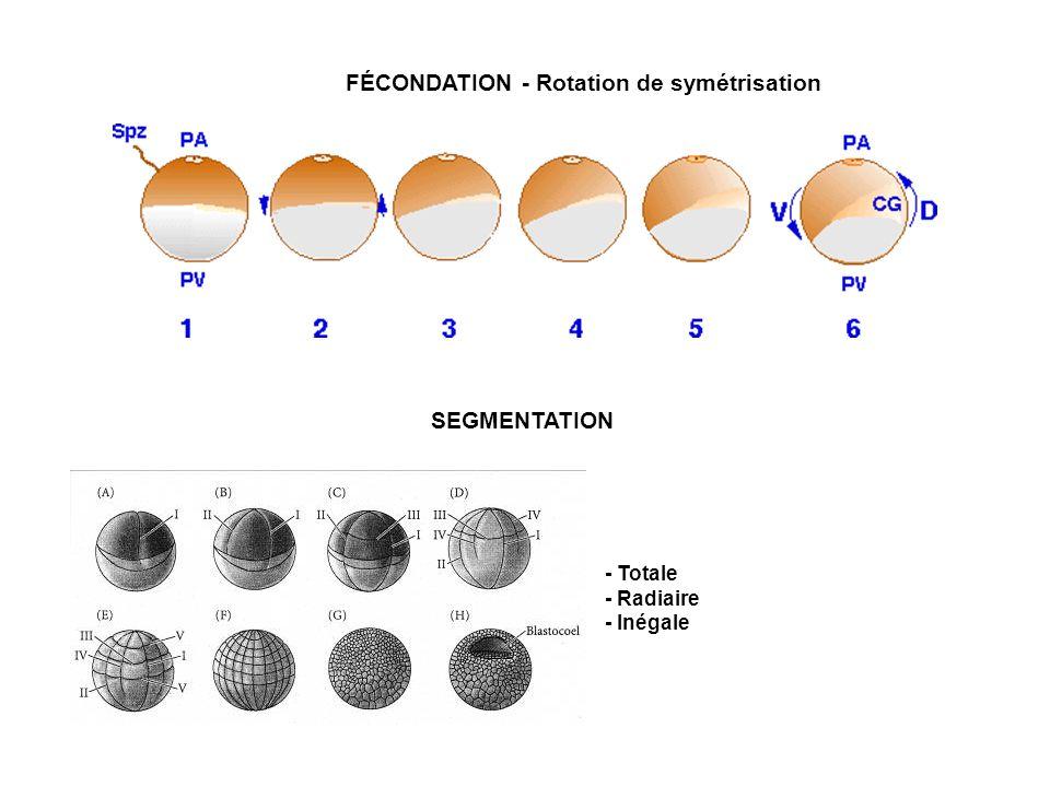 FÉCONDATION - Rotation de symétrisation