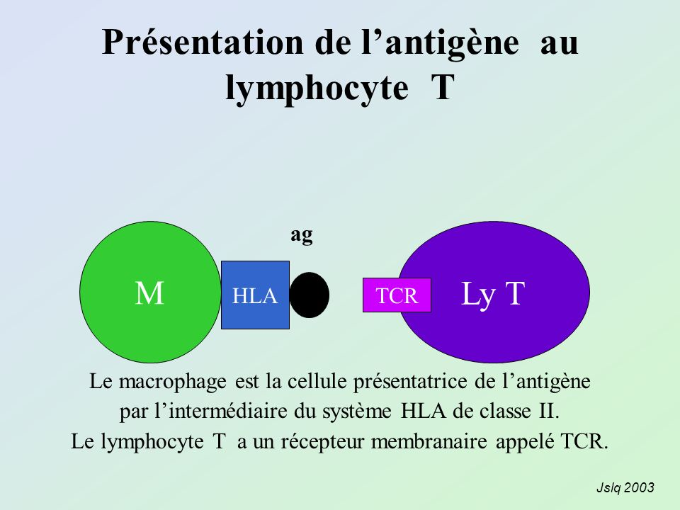 Présentation de l'antigène au lymphocyte T