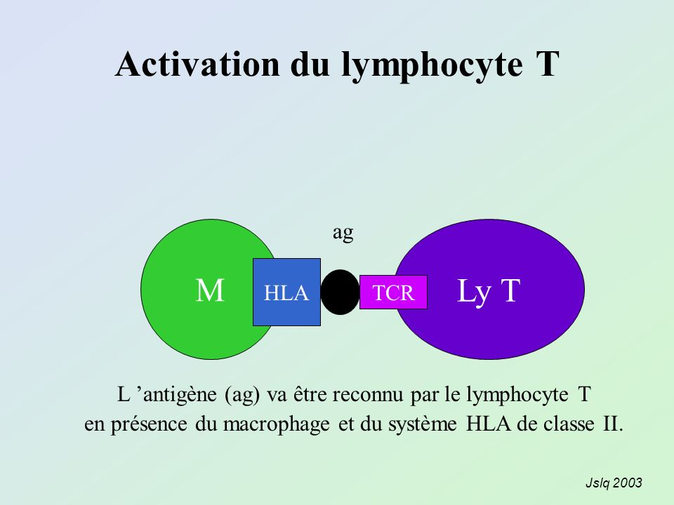 Activation du lymphocyte T