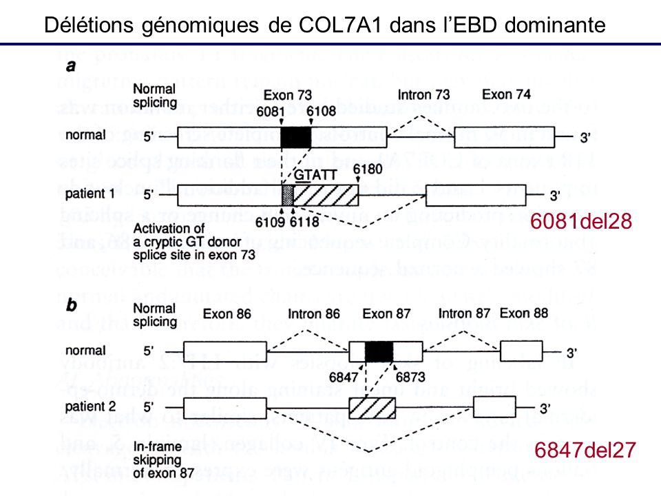 Délétions génomiques de COL7A1 dans l'EBD dominante