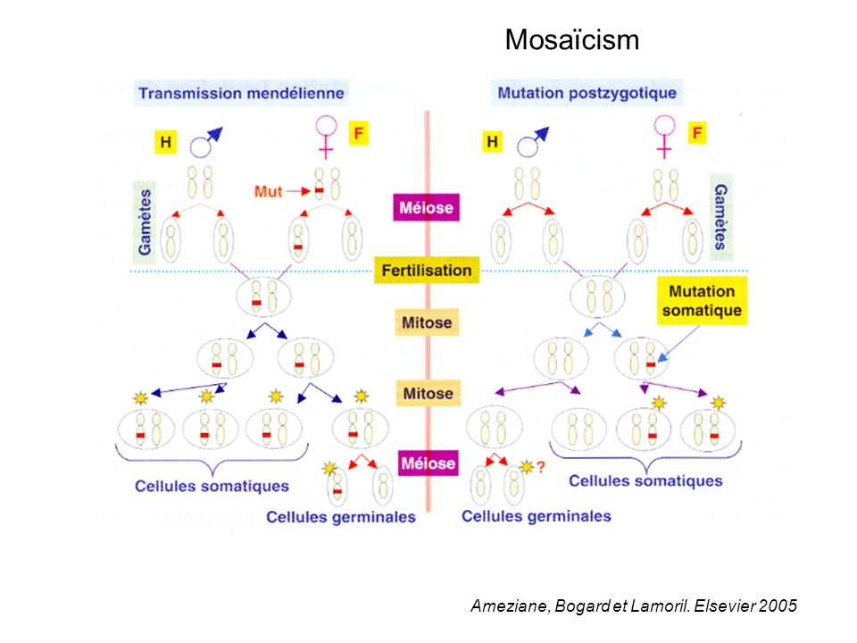 Mosaïcism Ameziane, Bogard et Lamoril. Elsevier 2005