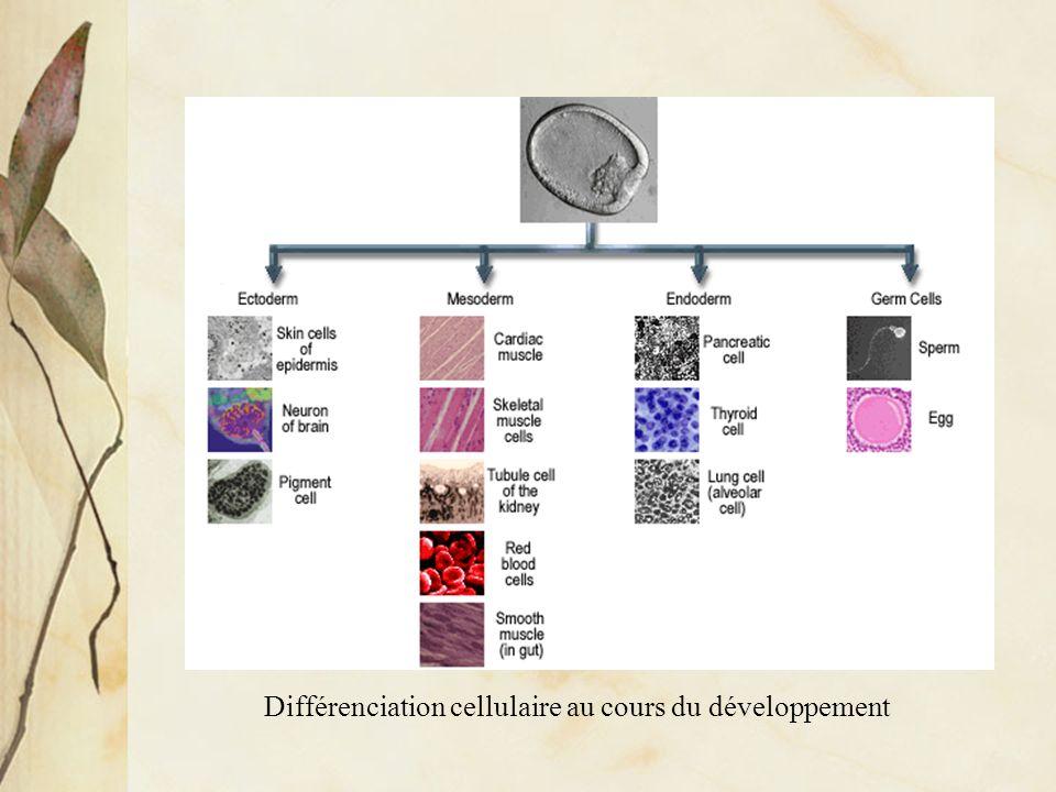 Différenciation cellulaire au cours du développement