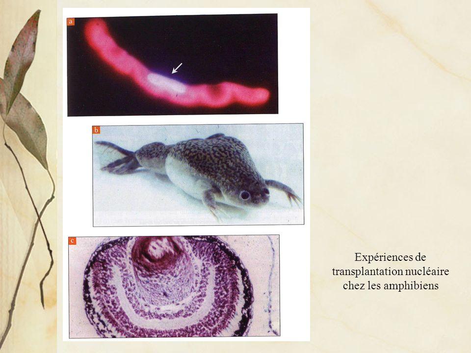 Expériences de transplantation nucléaire chez les amphibiens