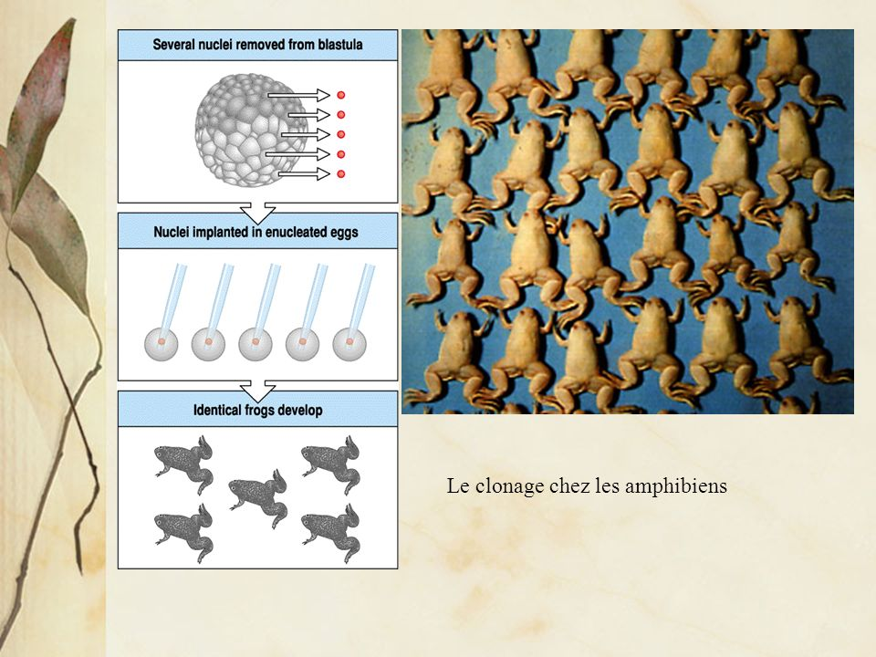 Le clonage chez les amphibiens