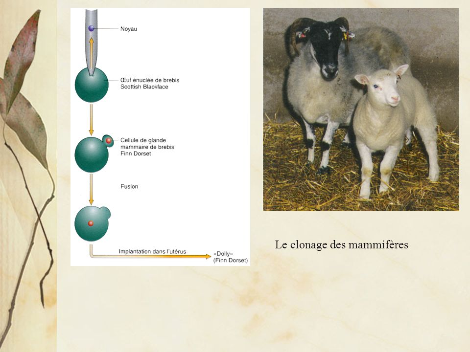Le clonage des mammifères