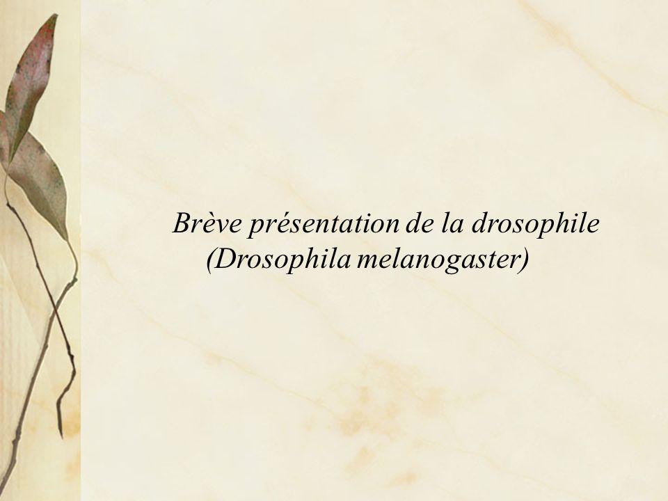 Brève présentation de la drosophile (Drosophila melanogaster)