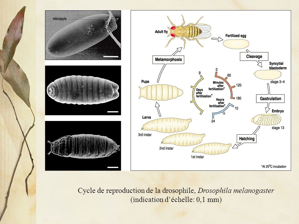 Cycle de reproduction de la drosophile, Drosophila melanogaster