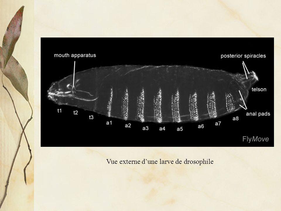 Vue externe d'une larve de drosophile
