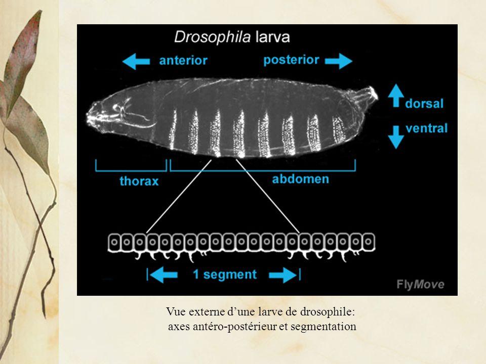 Vue externe d'une larve de drosophile: