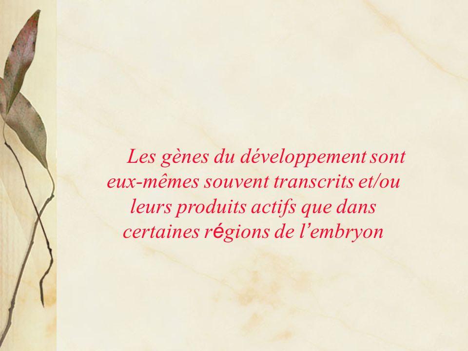 Les gènes du développement sont eux-mêmes souvent transcrits et/ou leurs produits actifs que dans certaines régions de l'embryon