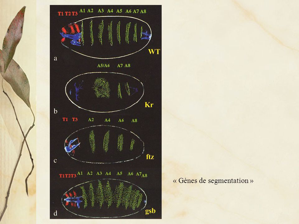 « Gènes de segmentation »