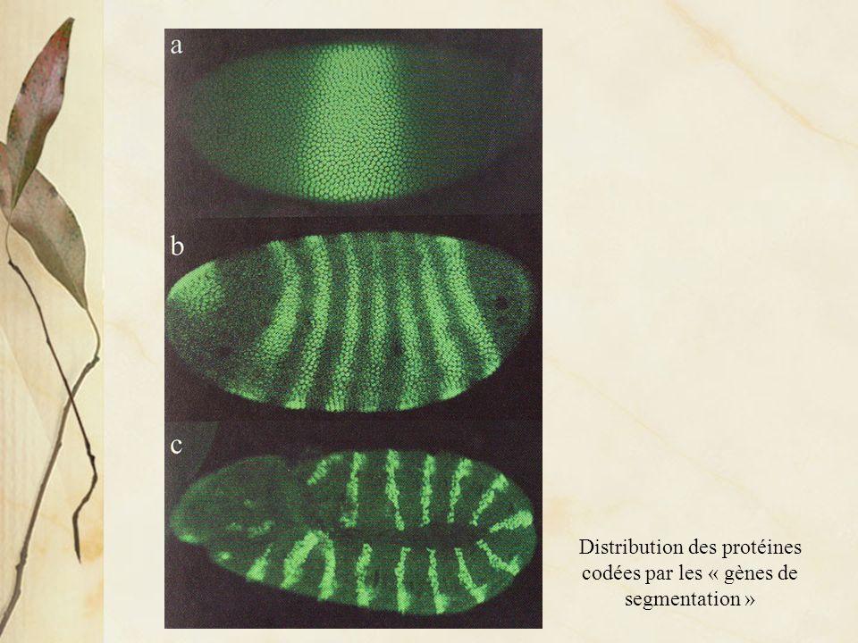 Distribution des protéines codées par les « gènes de segmentation »