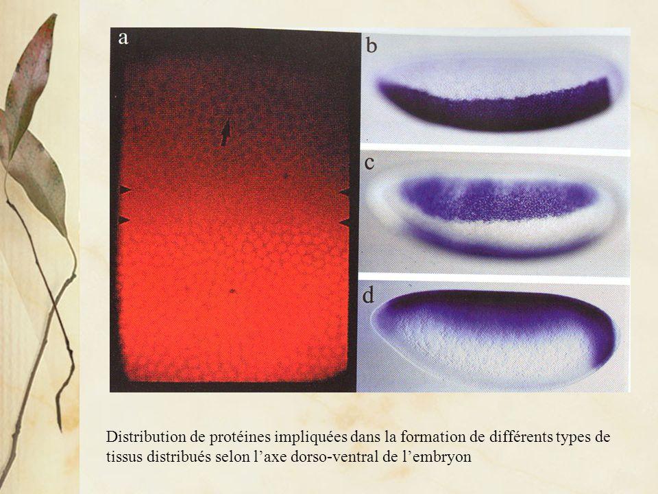 Distribution de protéines impliquées dans la formation de différents types de tissus distribués selon l'axe dorso-ventral de l'embryon