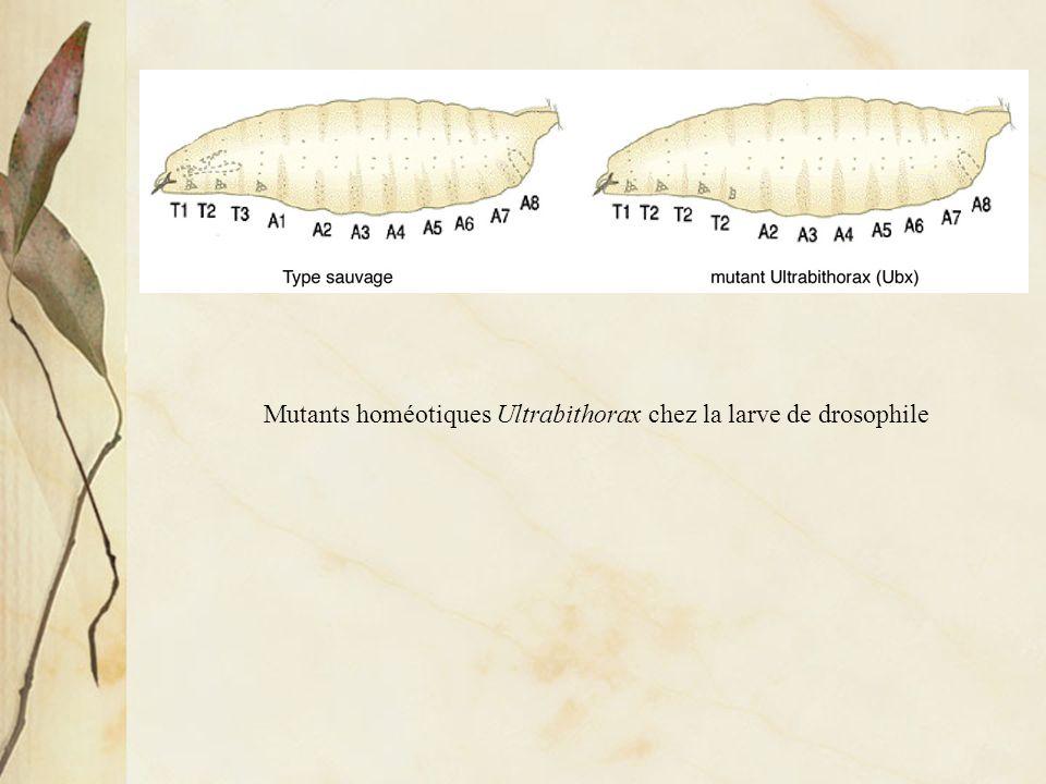 Mutants homéotiques Ultrabithorax chez la larve de drosophile