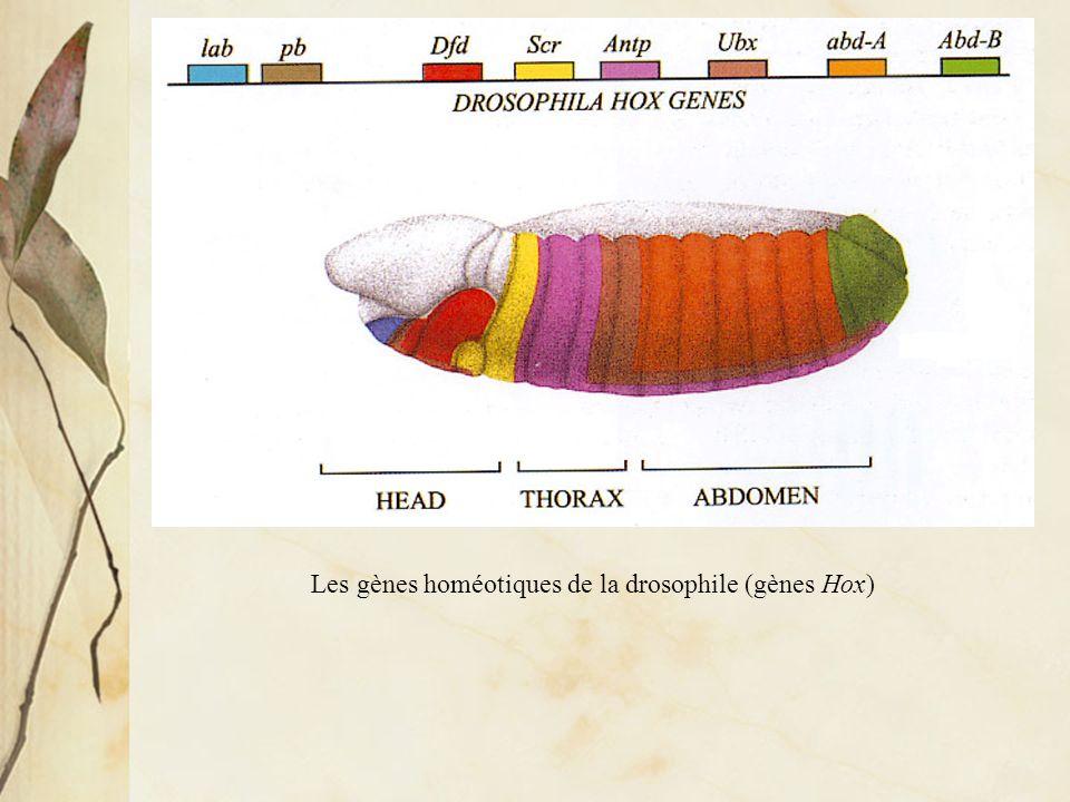 Les gènes homéotiques de la drosophile (gènes Hox)
