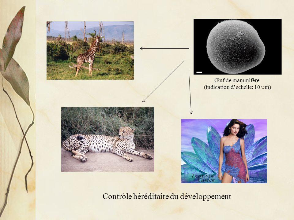 Contrôle héréditaire du développement