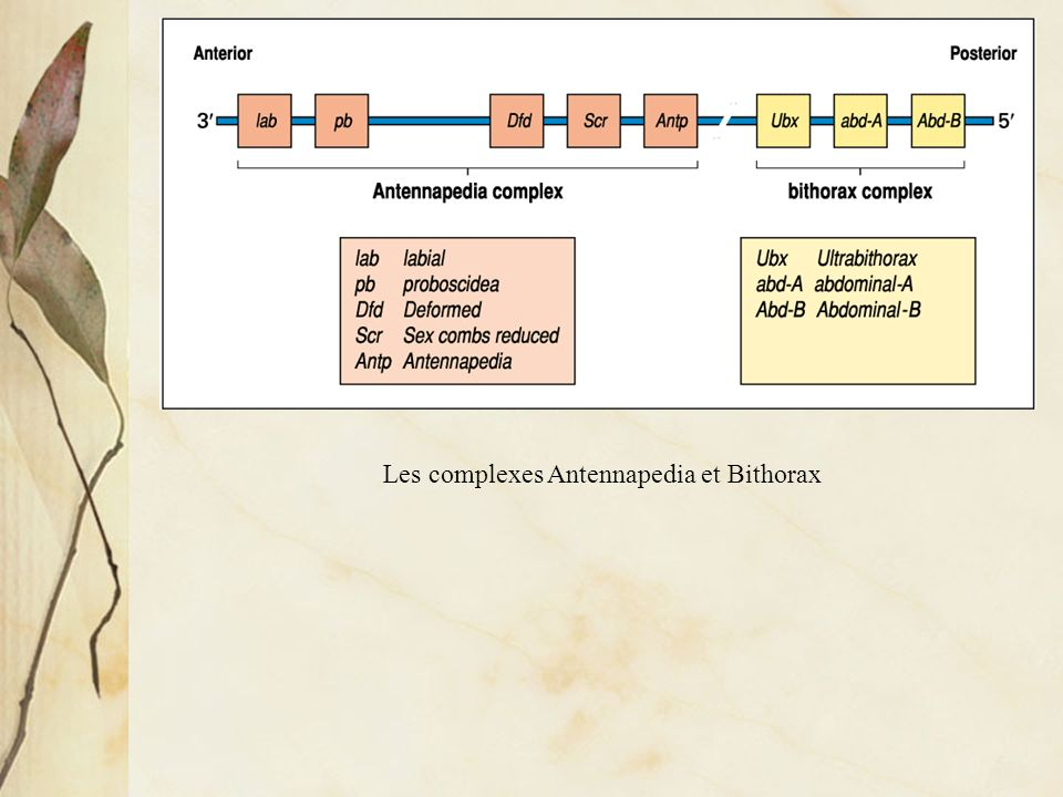 Les complexes Antennapedia et Bithorax