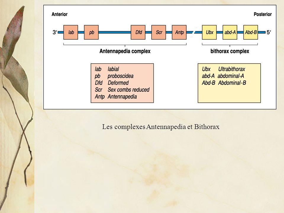 Les complexes Antennapedia et Bithorax