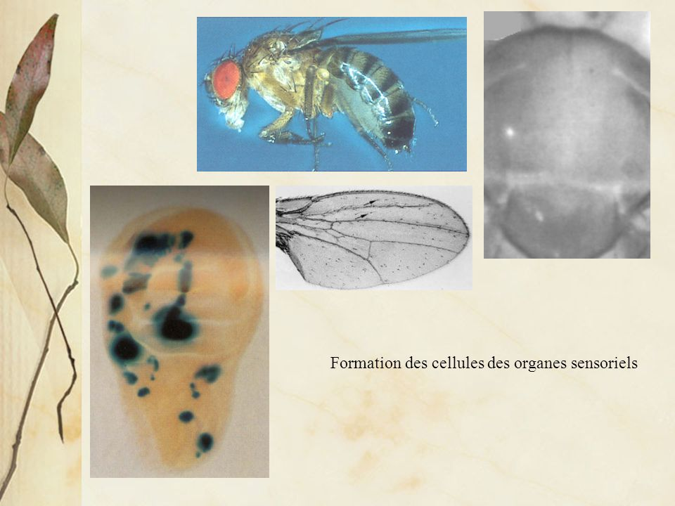 Formation des cellules des organes sensoriels