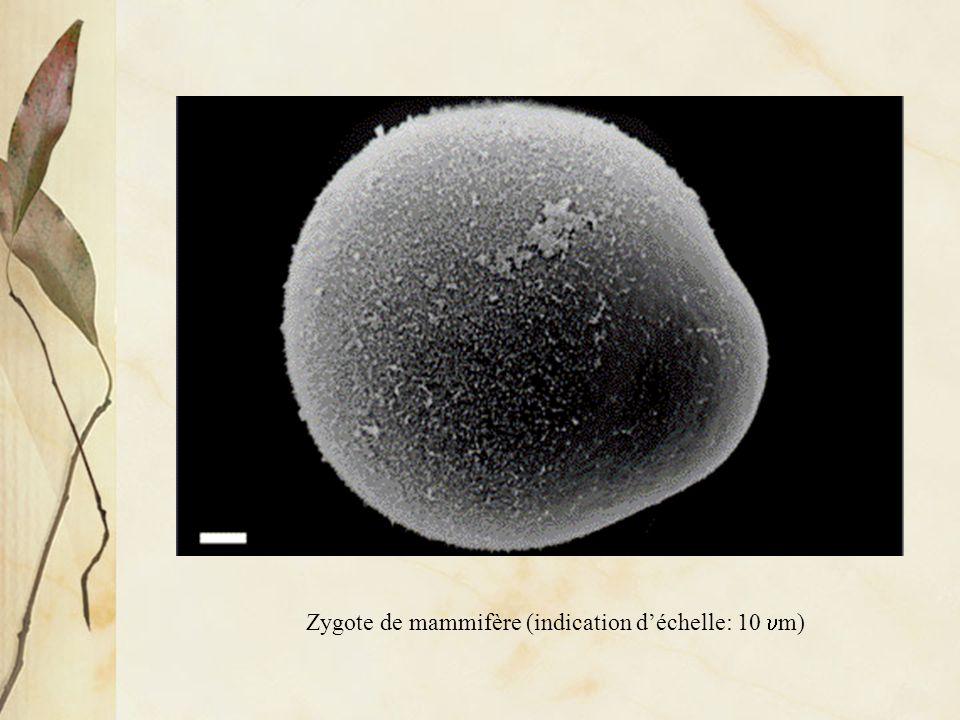 Zygote de mammifère (indication d'échelle: 10 um)