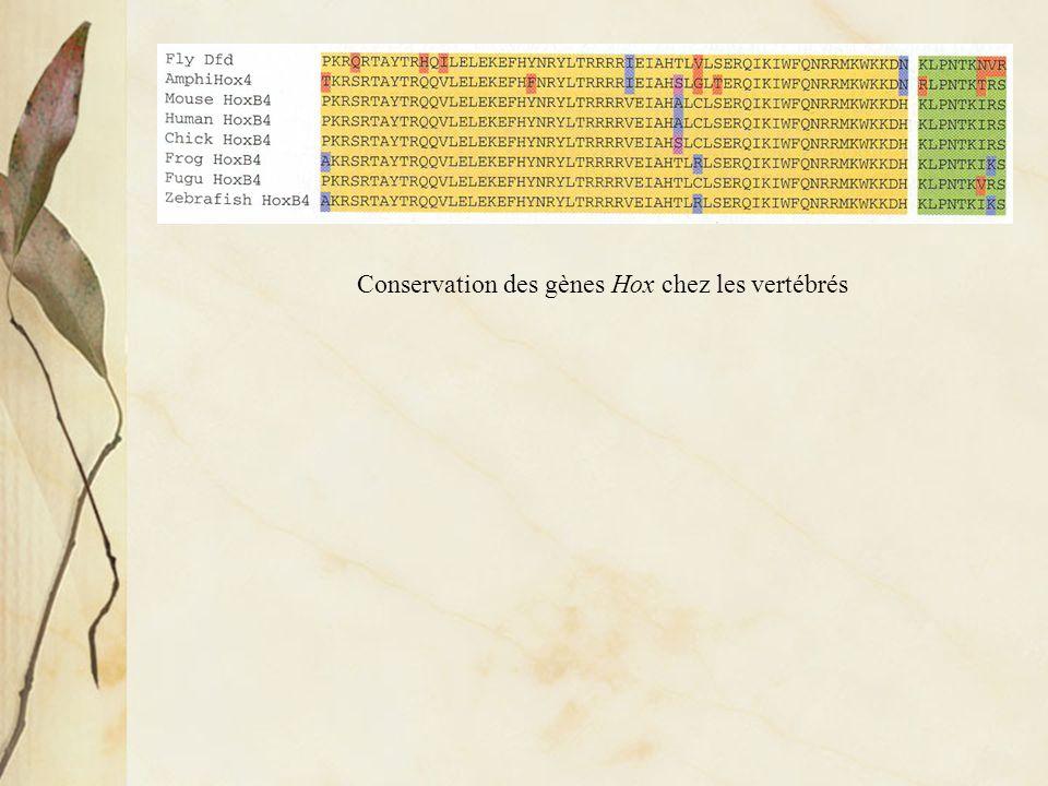 Conservation des gènes Hox chez les vertébrés