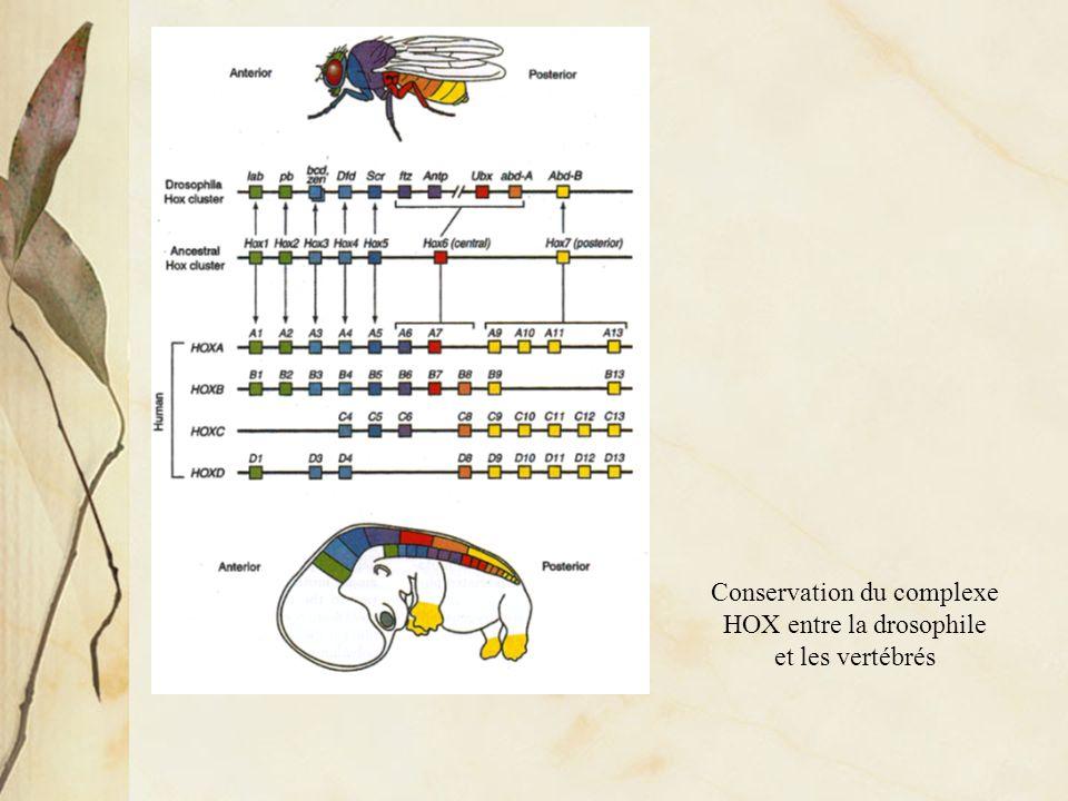 Conservation du complexe HOX entre la drosophile et les vertébrés