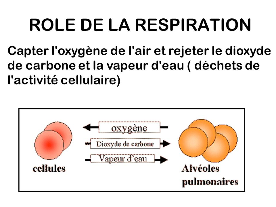 ROLE DE LA RESPIRATION Capter l oxygène de l air et rejeter le dioxyde de carbone et la vapeur d eau ( déchets de l activité cellulaire)