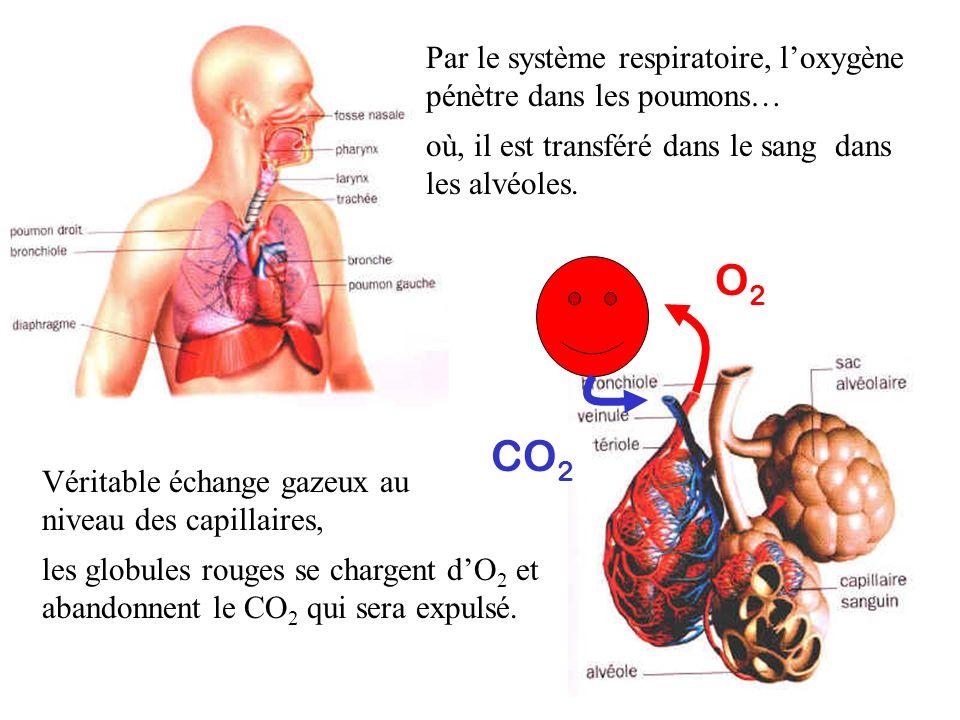 Par le système respiratoire, l'oxygène pénètre dans les poumons…