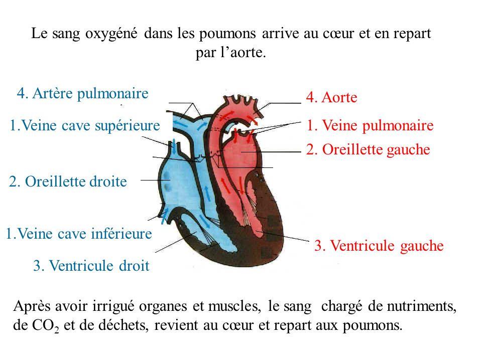 Le sang oxygéné dans les poumons arrive au cœur et en repart par l'aorte.