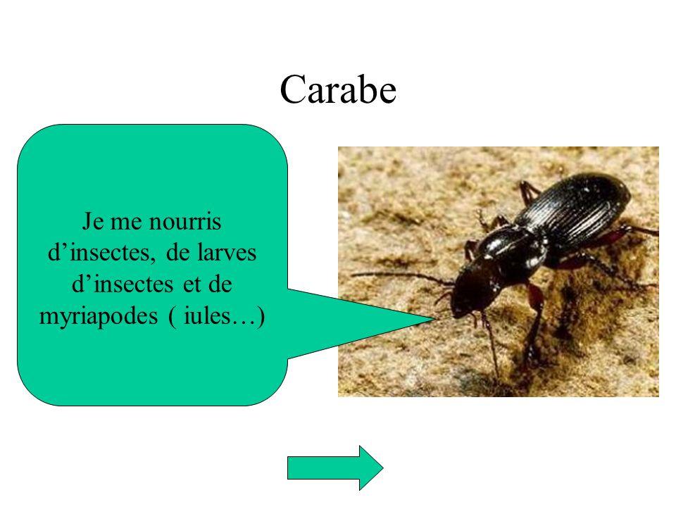 Carabe Je me nourris d'insectes, de larves d'insectes et de myriapodes ( iules…)