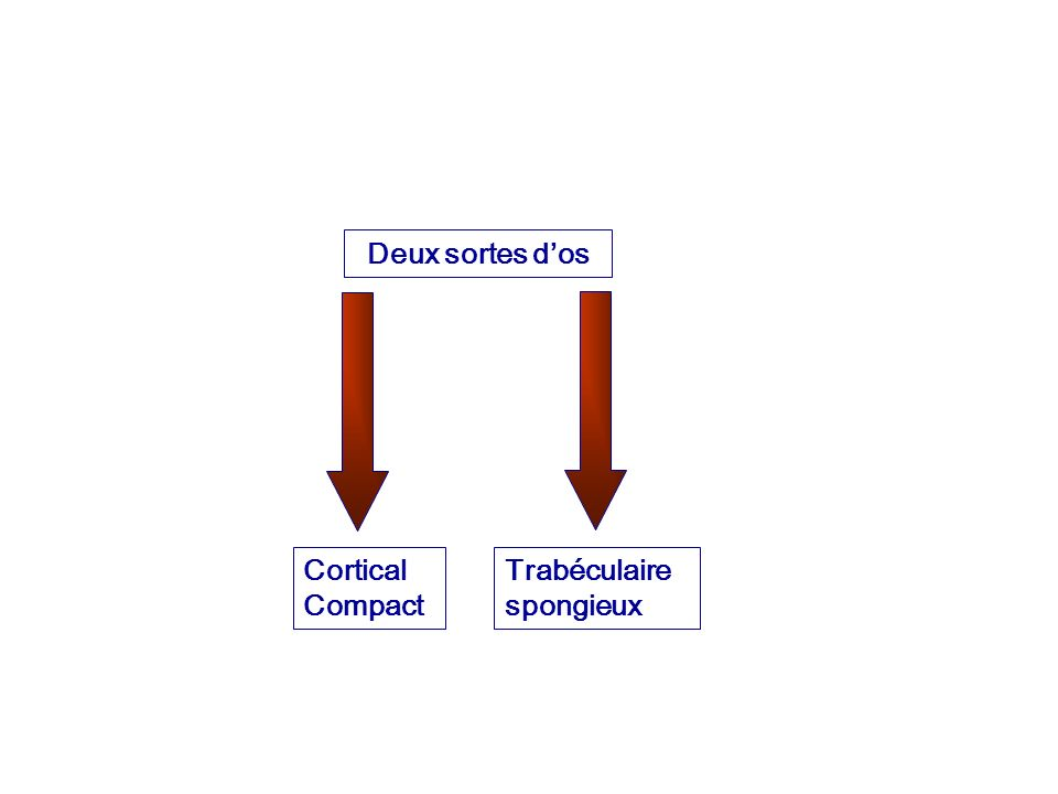 Deux sortes d'os Cortical Compact Trabéculaire spongieux