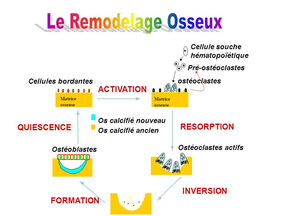 Le Remodelage Osseux ACTIVATION QUIESCENCE RESORPTION INVERSION