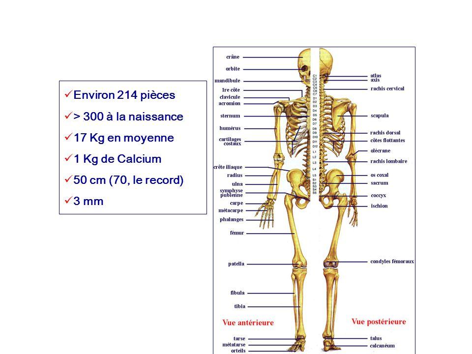 Environ 214 pièces > 300 à la naissance 17 Kg en moyenne 1 Kg de Calcium 50 cm (70, le record) 3 mm