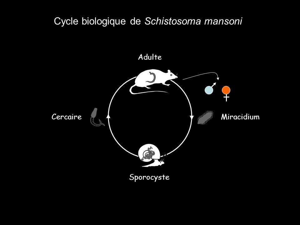 Cycle biologique de Schistosoma mansoni