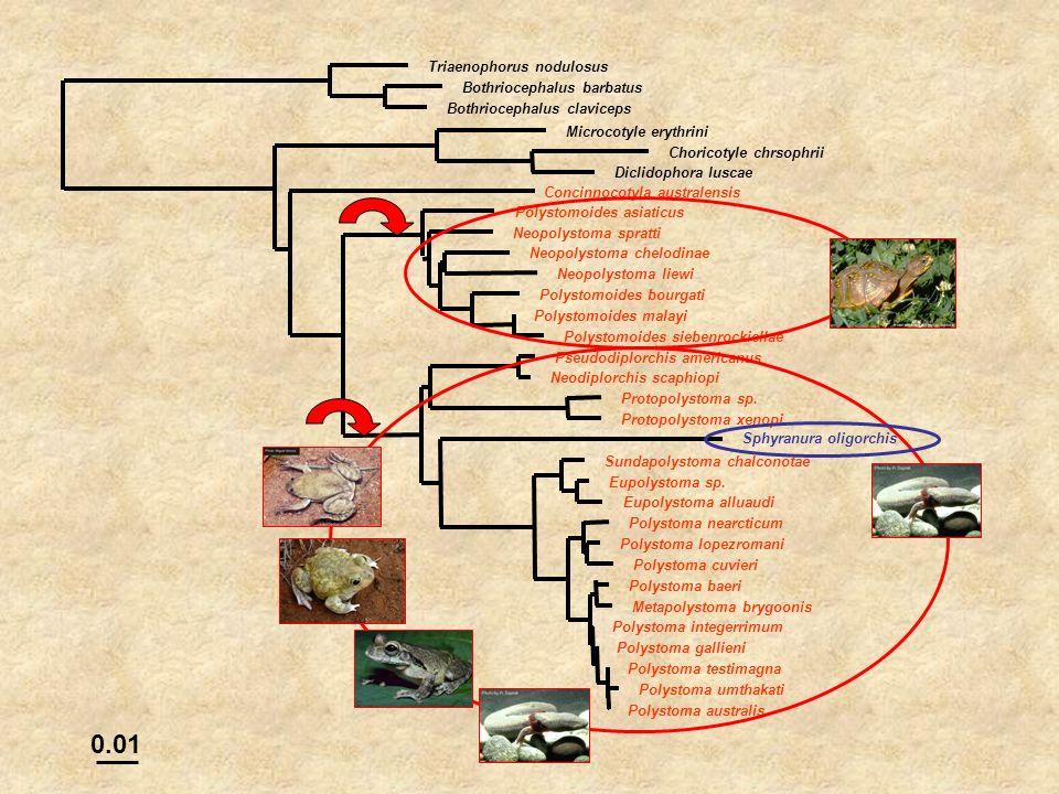 0.01 Triaenophorus nodulosus Bothriocephalus barbatus