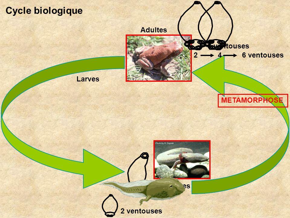 Cycle biologique Adultes 6 ventouses 2 4 6 ventouses Larves
