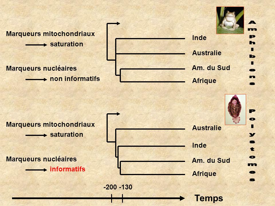 Amphibiens Polystomes Temps Marqueurs mitochondriaux Inde saturation