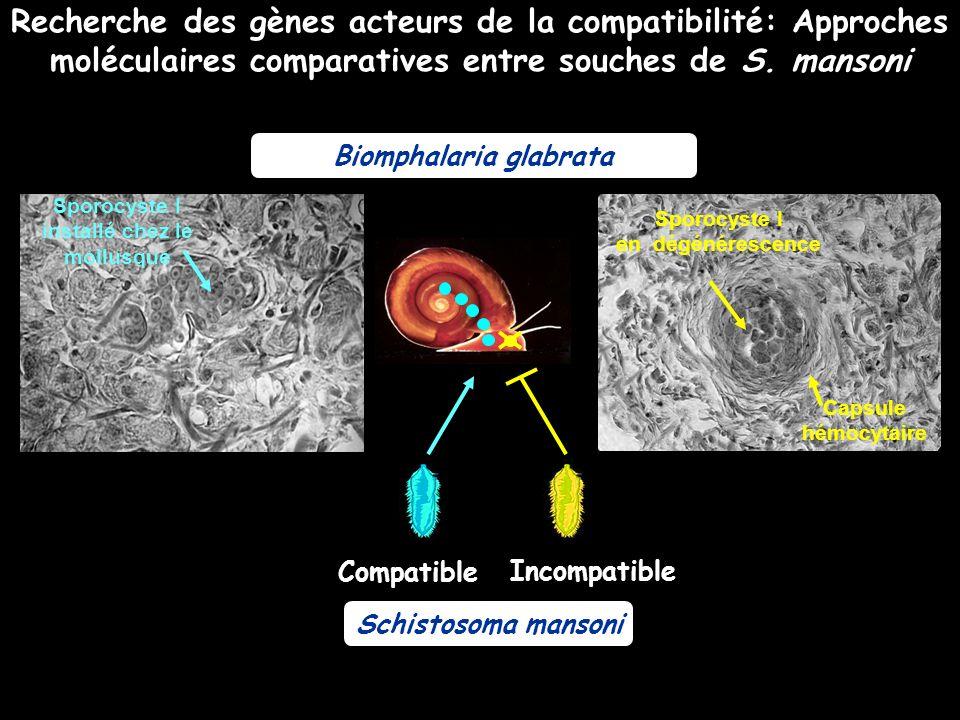 Biomphalaria glabrata Sporocyste I installé chez le mollusque