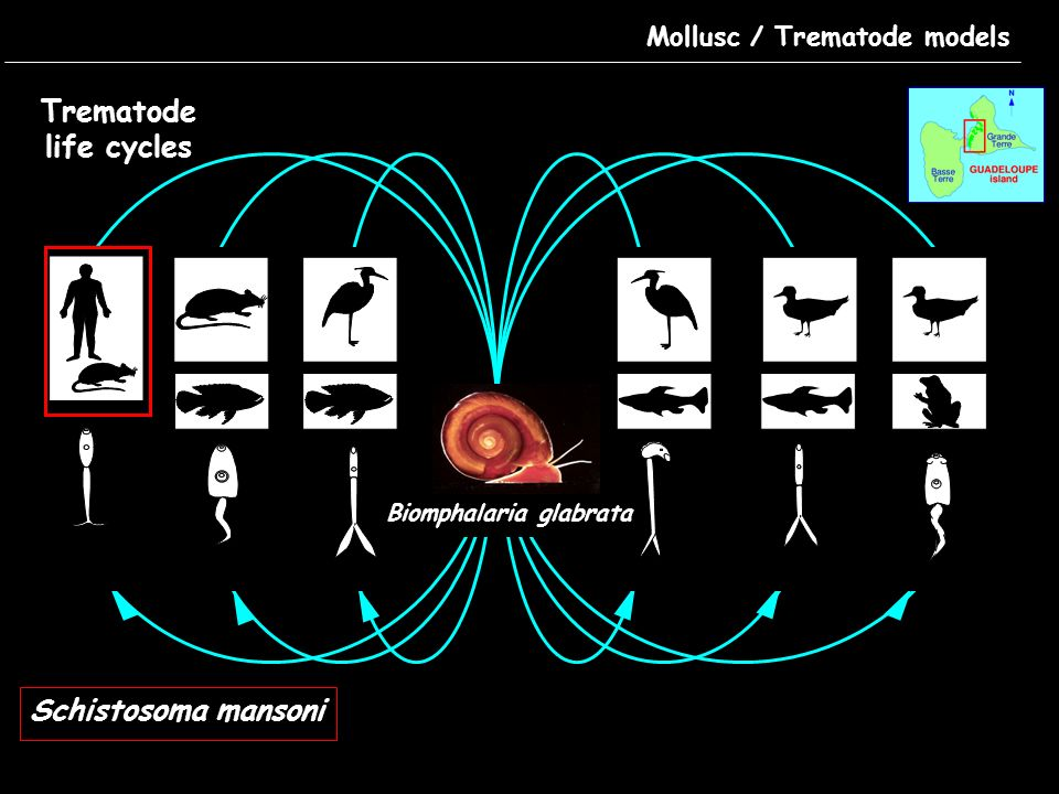 Mollusc / Trematode models