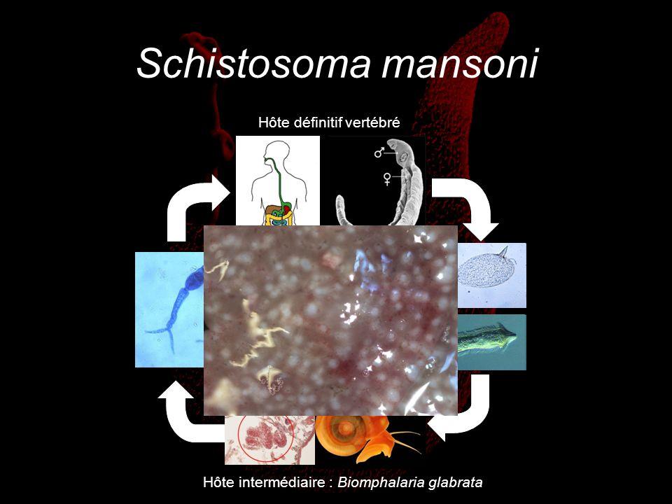 Schistosoma mansoni Hôte définitif vertébré