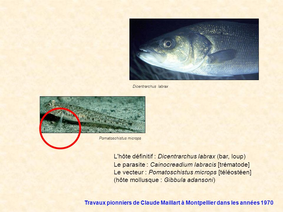 L hôte définitif : Dicentrarchus labrax (bar, loup)