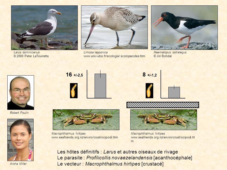 Larus dominicanus © 2000 Peter LaTourrette. Limosa lapponica. www.univ-ubs.fr/ecologie/ scolopacides.htm.